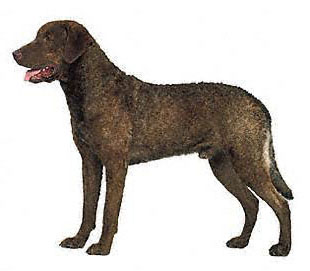 Chesapeake Bay Retriever was developed  to hunt waterfowl